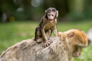 baby monkey on mothers back